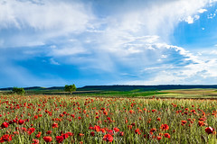 BARRANCO DE LA LAVANDERA Tafalla (España) (jramosvarela) Tags: amapolas sembrado trigo campos rojo verde fields planted