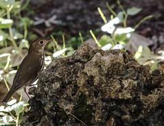 Climbing (ACEZandEIGHTZ) Tags: bird rock avian nikon d3200 polioptila gnatcatcher bluegrey backyard birdwatcher caerulea coth5 coth