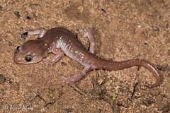 Arboreal Salamander (Aneides lugubris) (aliceinwl1) Tags: amphibia amphibian aneides aneideslugubris ca california caudata chordata plethodontidae santabarbaracounty arborealsalamander herp locnoone lugubris lunglesssalamander salamander viseveryone