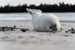 Grey Seals from Helgoland (Germany) (Chris van riel) Tags: seal puppy grey cute sweet young beach sand dunes grass wildlife nature animal sleeping lazy sea ocean sony a7riii gm gmaster