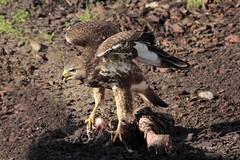 Rough-legged buzzard / Buizerd (K.Verhulst) Tags: ruigpootbuizerd buzzard buizerd vogel birdofprey roofvogel birds emmen wildlands wildlandsadventurezoo
