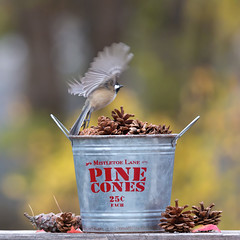Flying through Autumn (dshoning) Tags: pinecones chickadee bucket leaves autumn flying fall