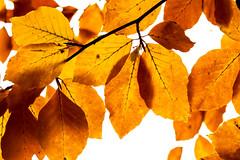 Autumn leaves (Derwisz) Tags: closeup autumn fall leaf leaves nature orange plants trees yellow canoneos40d photographs scarborough northyorkshire unitedkingdom