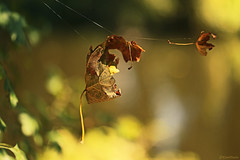 Hanging around... (eleni m) Tags: autumn fall leaves spiderweb outdoor dof hanging thread yellow brown green bokeh tree water pond