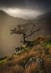 Hawthorn - Snowdonia - Wales (Nick Livesey Mountain Images) Tags: