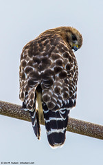 2019.01.15.0108 Red-Shouldered Hawk (Brunswick Forge) Tags: tags grouped florida animal animals animalportraits bird birds outdoor outdoors nature wildlife sky air nikond5200 tamron150600mm winter 2019 raptor atlanticbeach favorited commented