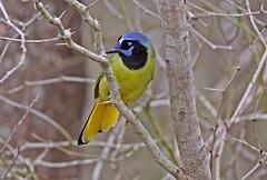 Green Jay (1krispy1) Tags: corvids jays greenjay texasbirds