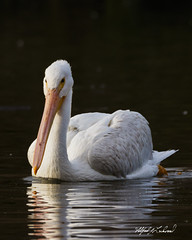 American White Pelican_20A2612 (Alfred J. Lockwood Photography) Tags: alfredjlockwood nature wildlife bird waterfowl americanwhitepelican portrait reflection water whiterocklake dallas texas autumn afternoon