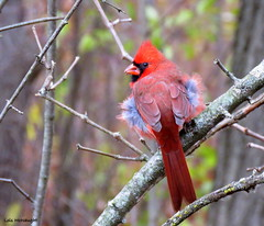 Northern Cardinal male (Lois McNaught) Tags: northerncardinalmale bird avian nature wildlife hamilton ontario canada