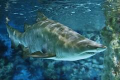 Shark (Hugo von Schreck) Tags: hugovonschreck shark hai fisch fish mehlis thüringen deutschland greatphotographers canoneos5dsr onlythebestofnature tamronsp35mmf18divcusdf012