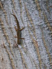 Lygodactylus capensis (Cape Dwarf Gecko) (jd.willson) Tags: jd willson jdwillson nature wildlife herps herping fieldherping africa tanzania kigoma lake tanganyika reptile lizard lygodactylus capensis cape dwarf gecko
