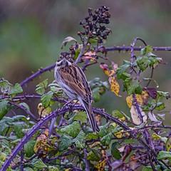 Reed Bunting (ianbartlett) Tags: outdoor mist murk wildlife nature birds seal bull water river pylons colour loght