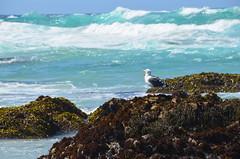 Squawk at the sea (afagen) Tags: california pacificgrove montereypeninsula asilomar beach pacificocean ocean asilomarstatemarinereserve bird