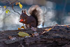 Glowing (Joachim Dobler) Tags: eichhörnchen eichhoernchen squirrel écureuil ardilla scoiattolo esquilo nature natur nagetier esquito wildlife animal cute naturephotography squirrellove wildlifephotography bestsquirrel nutsaboutsquirrels cuteanimals