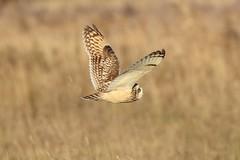 Short-eared Owl (asio flammeus) (mrm27) Tags: asio asioflammeus shortearedowl owl burwellfen burwell cambridgeshire