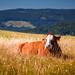 Kuh beim chillen im Gras