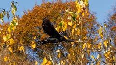 Cormoran (Photography Christophe.H) Tags: oiseau bird reflex nature natural forest forêt automne autumn exterieur tree arbre cormoran 50mm canon bretagne