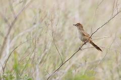 Tawny Grassbird (petefeats) Tags: australia birds brisbane megaluridae megalurustimoriensis nature oxleycommon passeriformes queensland tawnygrassbird
