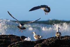 Gulls Feeding Near the Surf (OttoKruse) Tags: usa california sandiego lajollacove seagulls birds surf spray waves barnacles