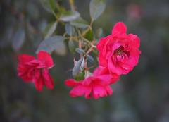 DSC09745 (Lens Lab) Tags: sony a7r achromat 100mm plants garden flowers roses
