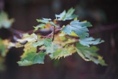 DSC09735 (Lens Lab) Tags: sony a7r achromat 100mm plants garden trees leaves