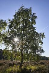 Birch (hbothmann) Tags: troisdorf nrw deutschland wahnerheide germany germania loxia2821 gegenlicht contrejour controluce sonnenstern hendrickbothmann zeiss carlzeiss e nature sony