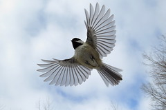 Black-capped Chickadee (kevinwg) Tags: blackcapped chickadee blackcappedchickadee flight flying soaring soar