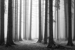 IMG_4495 (Calabrones) Tags: mignonbergeroswald deutschland oberbayern bayern münchen truderingerwald wald bäume nadelbäume nebel morgennebel