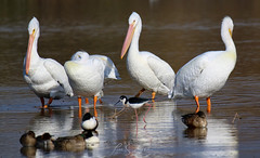 Pelicans in Arizona (Lisa S. Baker) Tags: lisasbaker lisabaker riparian arizona pelicans pelican bird wildlife photography nature marsh water pond