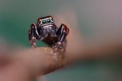 IMG_1006 (komusinmarek) Tags: evarcha arcuata jumpingspider jumping spider macro france magnification salticidae eyes greeneyes