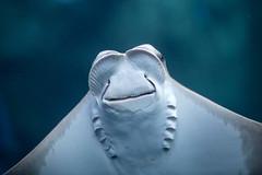 Stingray. (LisaDiazPhotos) Tags: aquarium pacific stingray lisadiazphotos