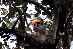 Udzungwa red colobus, Udzungwa Mountains National Park in Tanzania (inyathi) Tags: eastafrica africananimals tanzania udzungwaredcolobus redcolobus piliocolobusgordonorum monkeys colobusmonkeys africanwildlife nationalpark africa primates