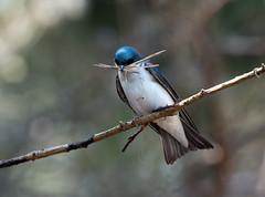 IMG_5686 Tree Swallow (suebmtl) Tags: bird ontario longpointbirdobservatory longpoint tachycinetabicolor