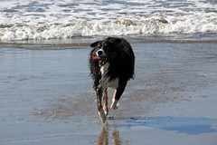 Happy Dash (JB by the Sea) Tags: sanfrancisco california october2018 fortfunston australianshepherd aussieshepherd aussie dog dash pacificocean pacific ocean