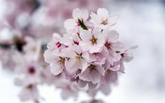 Springtime@FTW (Willem Vernooy (FoToWillem)) Tags: voorjaar bloesem blossom lente seizoen jaargetijde nature natuur bloei flower gorinchem gorcum gorkum fotowillem willemvernooy ftw color colorful outside