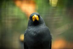Black Bird (MarkusR.) Tags: d722734 mrieder markusrieder stuttgart germany wilhelma zoologischergarten zoo park botanischergarten zoologicalgarden botanicalgarden nikon d7200 nikond7200 vogel bird animal tier
