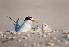 A Breath Away (Kathy Macpherson Baca) Tags: bird birds tern world leasttern endangered nest shore sand eggs chicks beach migrate planet parents feathers fly
