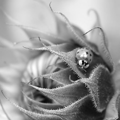 The ladybird and the sunflower.... (markwilkins64) Tags: ladybird ladybug sunflower leaves leaf macro macrophotography blackandwhite mono monochrome bw nature markwilkins spikes prickles budding flower flowers plant sunflowers dof depthoffield shallowdepthoffield