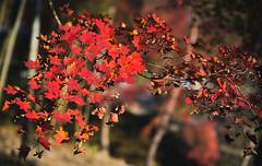 Fall Foliage (bacon.dumpling) Tags: arashiyama autumn fallfoliage fujifilmxpro2 fujinonxf56mmf12rapd japan koyo kyoto leafchangingseason tenryujitemplegarden