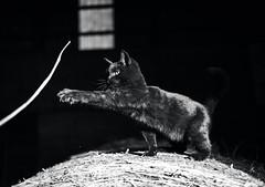 reach (Jen MacNeill) Tags: black cat pet kitten animal farm barn cats bnw bw white