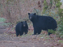 Mom with One Cub (Shelley Penner) Tags: vancouverisland blackbears motherandcub woods