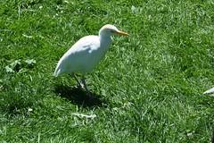 Bubulcus ibis, le héron garde-boeuf ou western cattle egret, kukreiher, garcilla bueyera, garça-boieira, kohäger, airone guardabuoi, koereiger, kuhegre. (chug14) Tags: animalia aves ardeidae pélécaniformes hérongardeboeuf westerncattleegret kukreiher garcillabueyera garçaboieira kohäger airone guardabuoi koereiger kuhegre bubulcus ibis