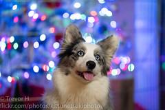 Christmas Corgi 2 (Kenjis9965) Tags: sonya7iii sony 70200mm f28 gm sony70200mmf28gm g master christmas corgis holiday festive sitting pretty posing adorable doggos puppers puppies fluffy blue merle brindle dog pet