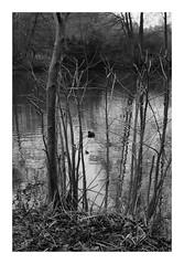 Derrière les branches (DavidB1977) Tags: france îledefrance seineetmarne ferrièresenbrie fujifilm x100f monochrome bw nb taffarette oiseau branche