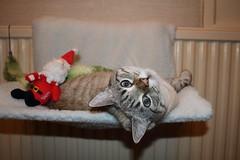 Enjoying her new Christmas presents (charliejb) Tags: esmé christmas christmas2018 2018 bristol lounge grey cat feline moggy moggie pet