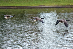 IMG_0313224 (Ashley Middleton Photography) Tags: coatewatercountrypark swindon animal bird canadagoose england europe goosegeese unitedkingdom wiltshire