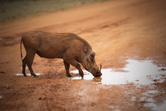 Elegance! (Stefan Zwi.) Tags: warzenschwein warthog addo elephant park nationalpark ngc npc