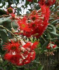 Walking up Tom's footpath (spelio) Tags: dec 2018 sydney trips tm blossom flowering bloom red flower