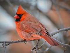 Where Have All The Cardinals Gone? (DaPuglet) Tags: cardinal bird birds animal animals cardinals wildlife nature wildbirds red ontario tree male cardinaliscardinalis specanimal malecardinal coth coth5 specanimalphotooftheday