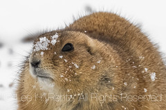 Black-tailed Prairie Dog on Snowy Day in Theodore Roosevelt National Park (Lee Rentz) Tags: america blacktailedprairiedog cynomysludovicianus dakotaterritory littlemissouririver medora nd northamerica northdakota northdakotabadlands november theodoreroosevelt theodorerooseveltnationalpark animal autumn badlands behavior cold conservation conservationist den emerged fall feed feeding foraging greatplains historic horizontal landscape lateautumn mammal nationalpark nationalparkservice nature prairie prairiedog prairiedogtown precipitation rodent snow snowcovered snowing snowy southunit torpor usa wildlife winter wintry